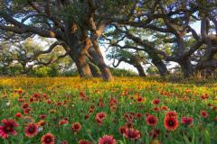 Live Oak forest along the Texas coast
