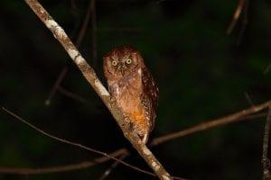 Pemba Scops Owl