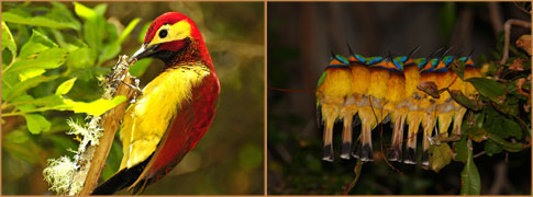 Crimson-mantled Woodpecker by Daniel Uribe (Colombia) and roosting Blue-breasted Bee-eaters by Matthew Matthiessen (Ethiopia)