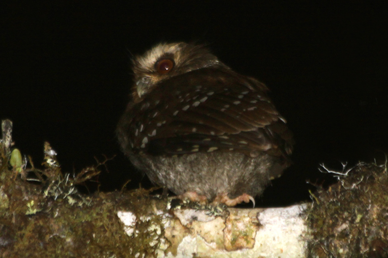 Rockjumper tour finds Peru's enigmatic Long-whiskered Owlet!