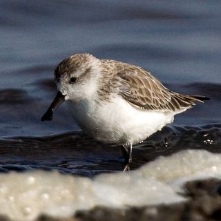 Wintering Spoon-billed Sandpipers need your help!