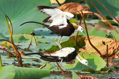 Pheasant-tailed Jacana courtship dance