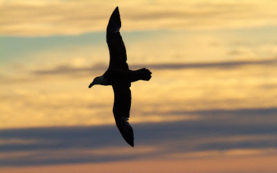 Southern Giant Petrel silhouette by Marius Coetzee
