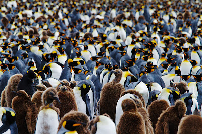 A tiny portion of the Salisbury Plain King Penguin colony by Marius Coetzee
