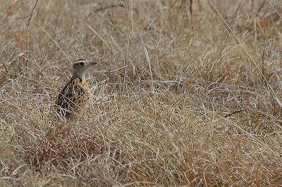 Significant Ethiopian discovery - Heteromirafra larks
