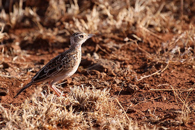 Sidamo (or Liben) Lark, Liben Plains Ethiopia by Jacqueline Probst