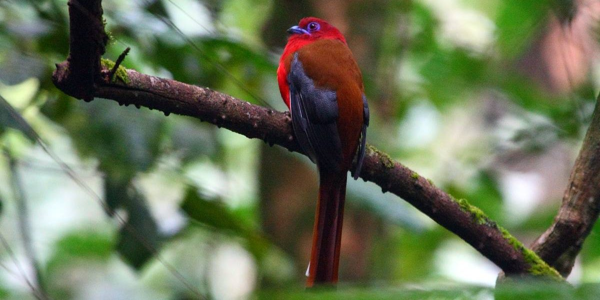 New Budget Borneo Birding & Budget Malaysia Extension tours for 2013