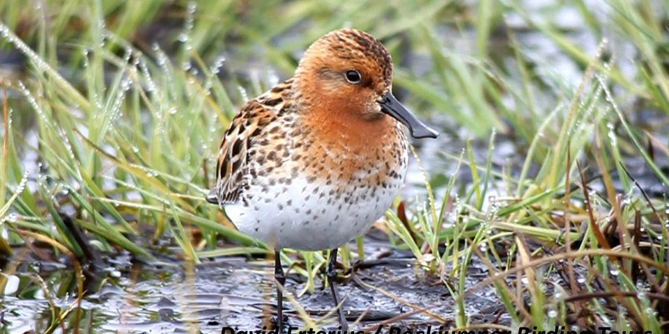 Spoon-billed Sandpiper video footage & associated tours