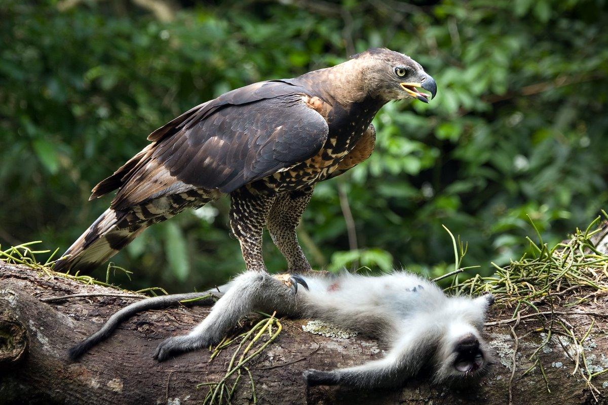 Crowned Eagle with Vervet Monkey prey