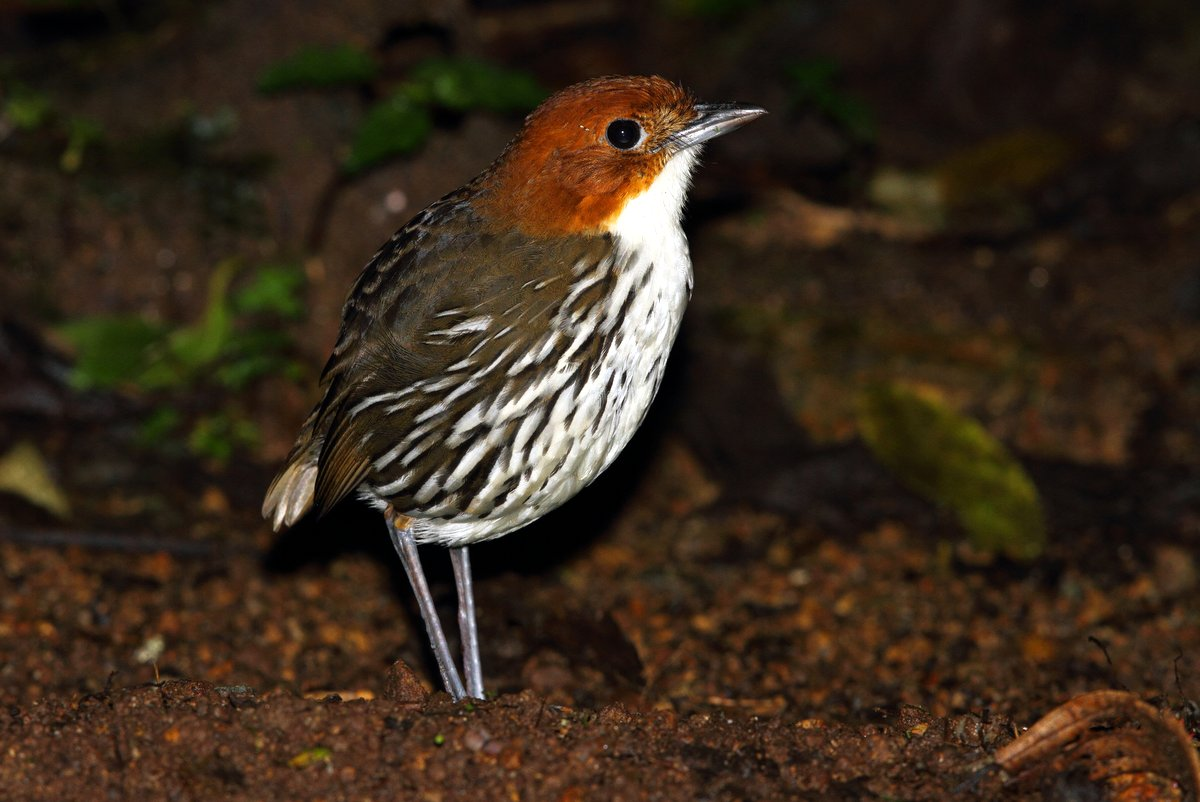 Colombia's Antpitta Feeders by David Shackelford
