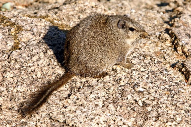 The Dassie Rat – an unique rodent