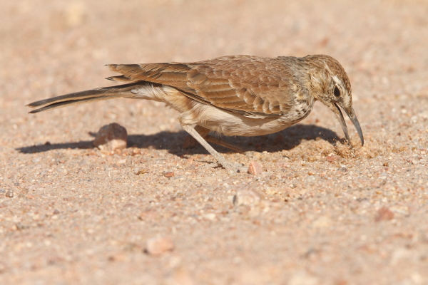 A Benguella Lark foraging for grubs in the desert north of Brandberg in central Namibia