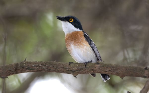 Woodward's Batis is a restricted range coastal forest species that was discovered by the Woodward brothers in Zululand. Both its English common name and scientific name of Batis fratum commemorate the brothers
