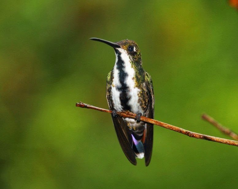 The Hummingbirds of Folha Seca