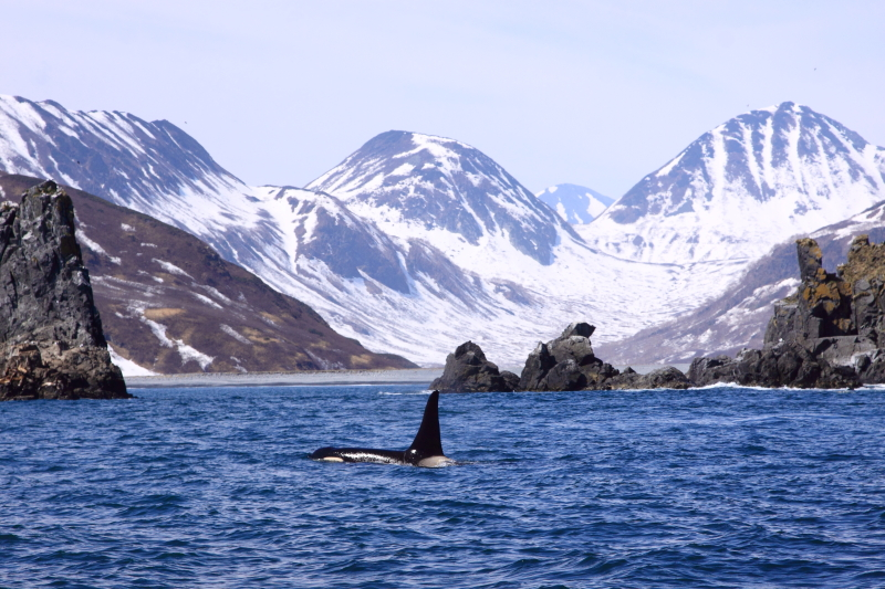 Orca with typical Kamchatka Peninsula background. Image by Felicity Riley