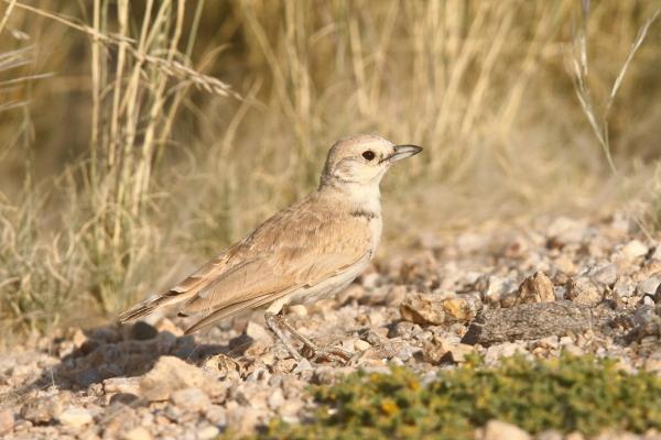 The pale Gray's Lark's preferred habitat are the open gravel plains of the Namib Desert