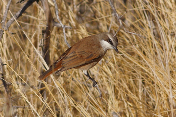 The Herero Chat can be a hard bird to find due to its inconspicuous behavior combined with a scattered, low density