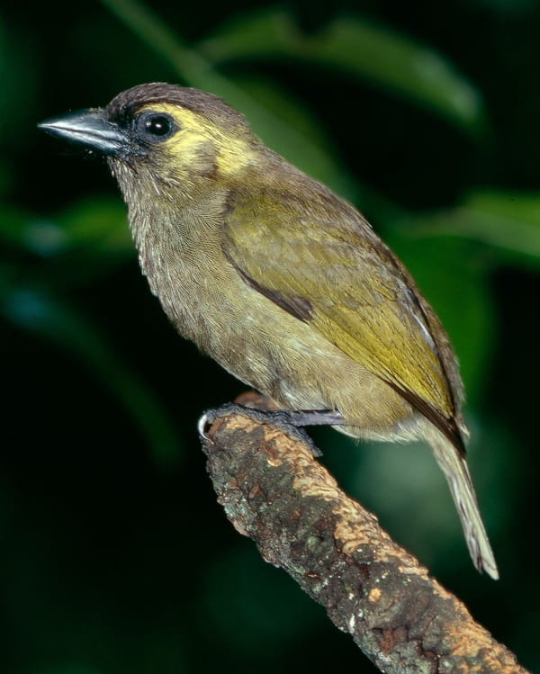 Woodward's Barbet belongs to a group of barbets known as Green Barbets. Several isolated populations exist, the most southern being Woodward's, restricted to Ngoye Forest.