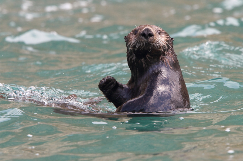 A curious Sea Otter. Image by Adam Riley