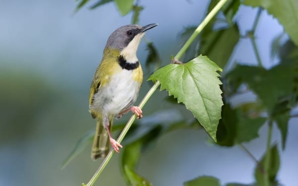 Rudd's Apalis is a restricted range species that occurs along the Zululand coastal belt. It was discovered by Captain Claude Grant in the opening years of the 20th century and named in honor of his financier, mining magnate Charles Rudd