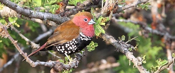 The beautiful Pink-throated Twinspot is another highly range-restricted species occurring along the Zululand coastal plain and into southern Mozambique