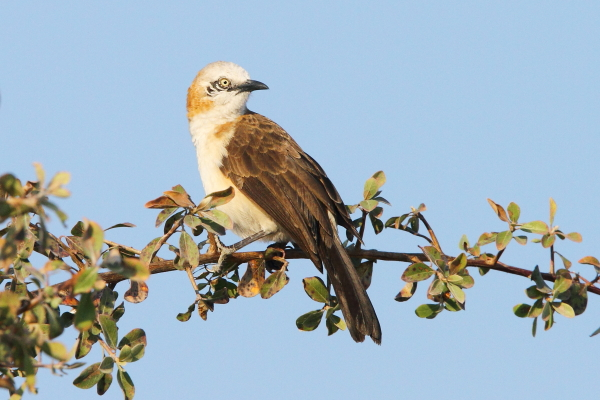 The attractive Bare-cheeked Babbler photographed near Etosha National Park.