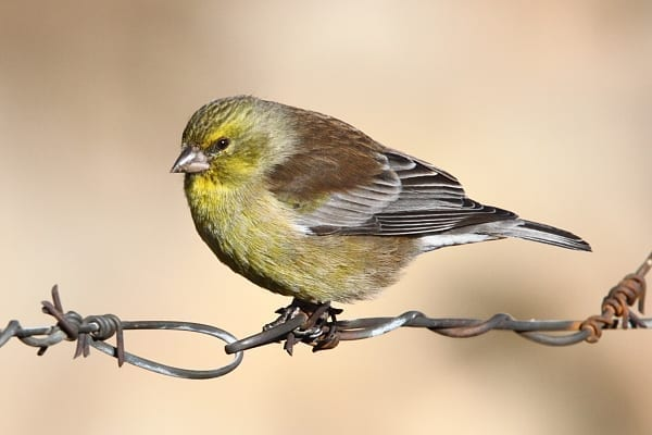 Drakensberg Siskin is a localized species of the highest ranges of the Drakensberg Mountains where it was described and named after Roden Symonds. Image by Adam Riley
