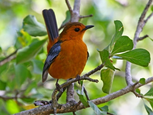 Known for many years as the Natal Robin but now renamed as Red-capped Robin-Chat, this species was discovered by Dr Andrew Smith in KwaZulu-Natal province