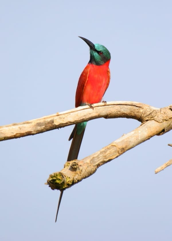 The Bee-eaters of Africa