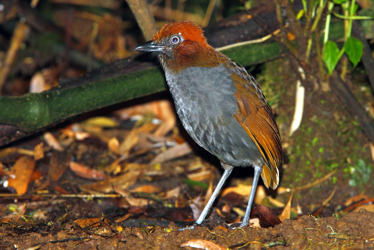 Chestnut-naped Antpitta photographed at Rio Blanco by Adam Riley