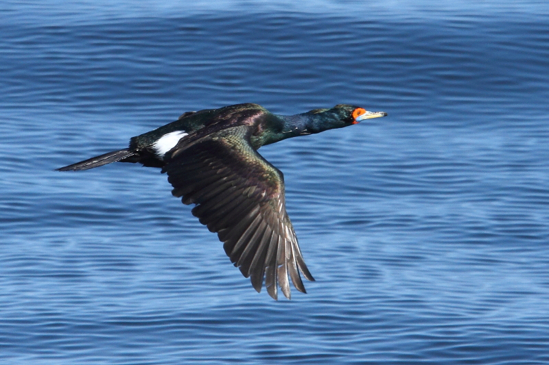 Red-faced Cormorant is restricted to remote areas of the North Pacific Ocean. Image by Adam Riley