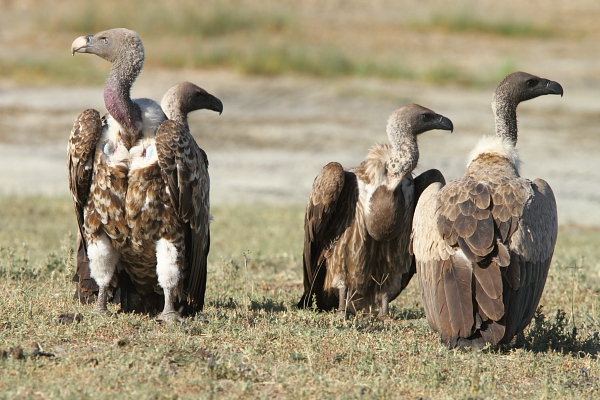 Rueppell's and White-backed Vultures by Adam Riley