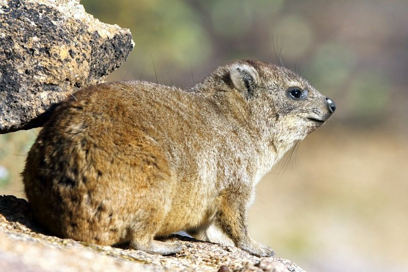 Rock Hyraxes are much larger than Dassie Rats but co-habit the same rock outcrops