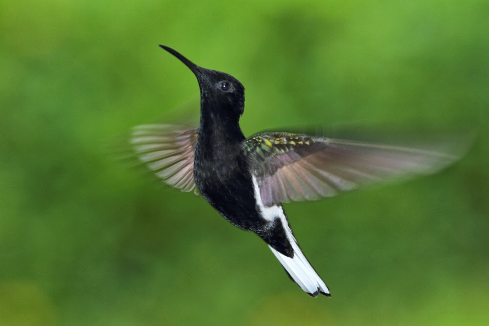 The Hummingbirds of Folha Seca
