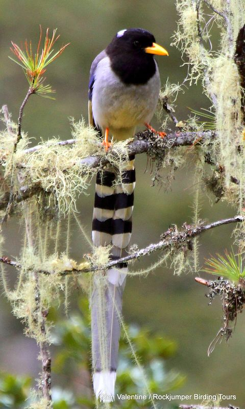 Yellow-billed Blue Mapie – This handsome species is also seen in the Bhutanese highlands