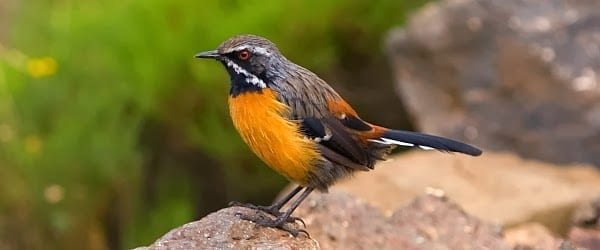 South Africa's Endemic Birds