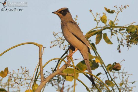 Birding Arabia: Deserts and Oases
