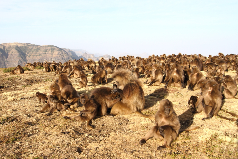 Geladas spend the fist few hours of the morning grooming and socializing at the edge of their cliffs