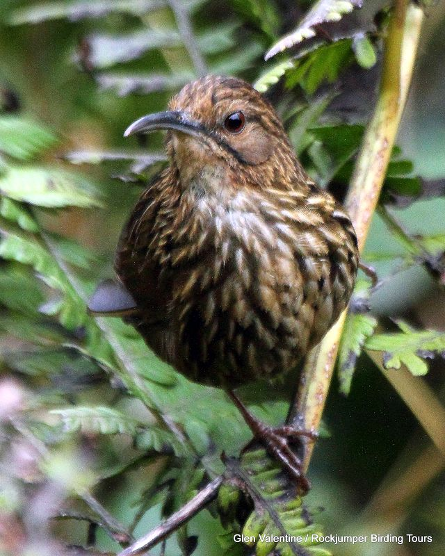 Long-billed Wren-Babbler - A once mythical species that is now regularly seen in Bhutan