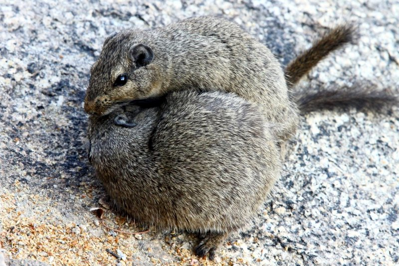 A pair of Dassie Rats during courtship