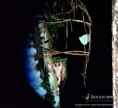Sri Lanka Bay Owl by Stephan Lorenz