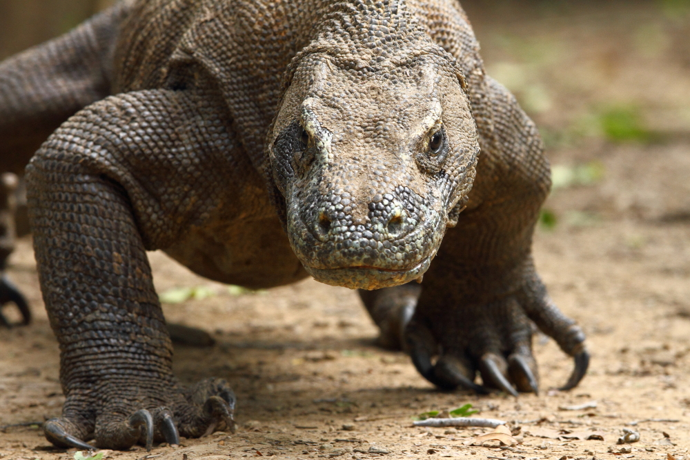 A Komodo Dragon lumbers forwards. Notice the massive claws used for gripping prey. Image by Adam Riley