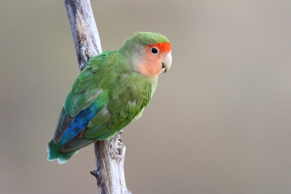 A male Rosy-faced Lovebird poses on a branch in the Erongo Mountains