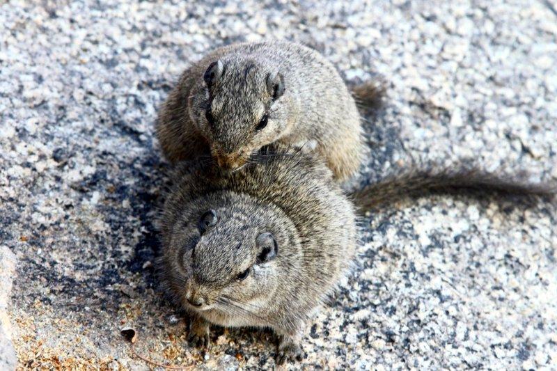 Dassie Rats copulating
