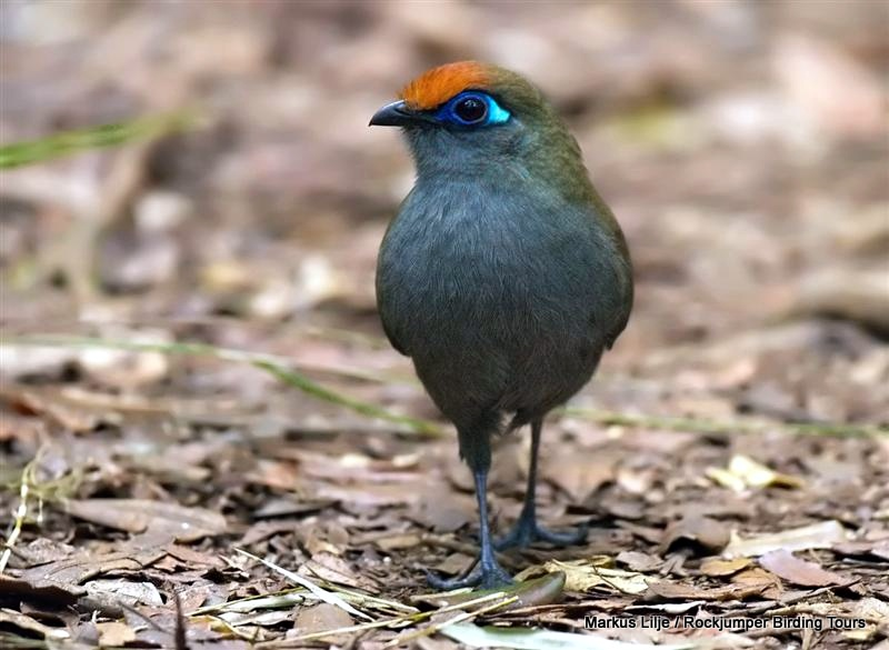 Red-fronted Coua by Markus Lilje