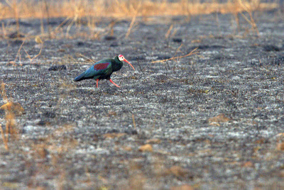 Southern Bald Ibis in recently burned grassland, Karkloof, South Africa, by Adam Riley
