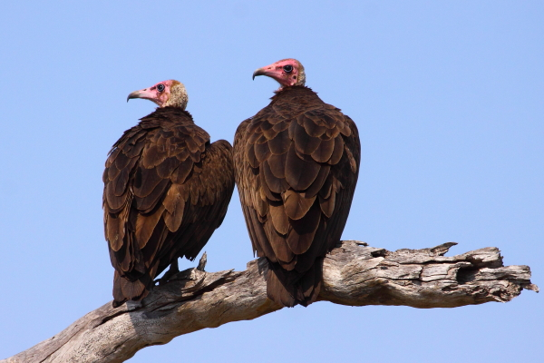 Hooded Vultures by Adam Riley