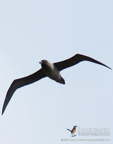 Light-mantled Sooty Albatross by Erik Forsyth