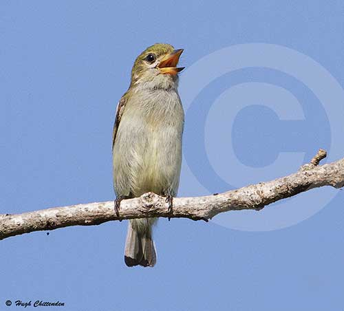 Green Tinkerbird by Hugh Chittenden
