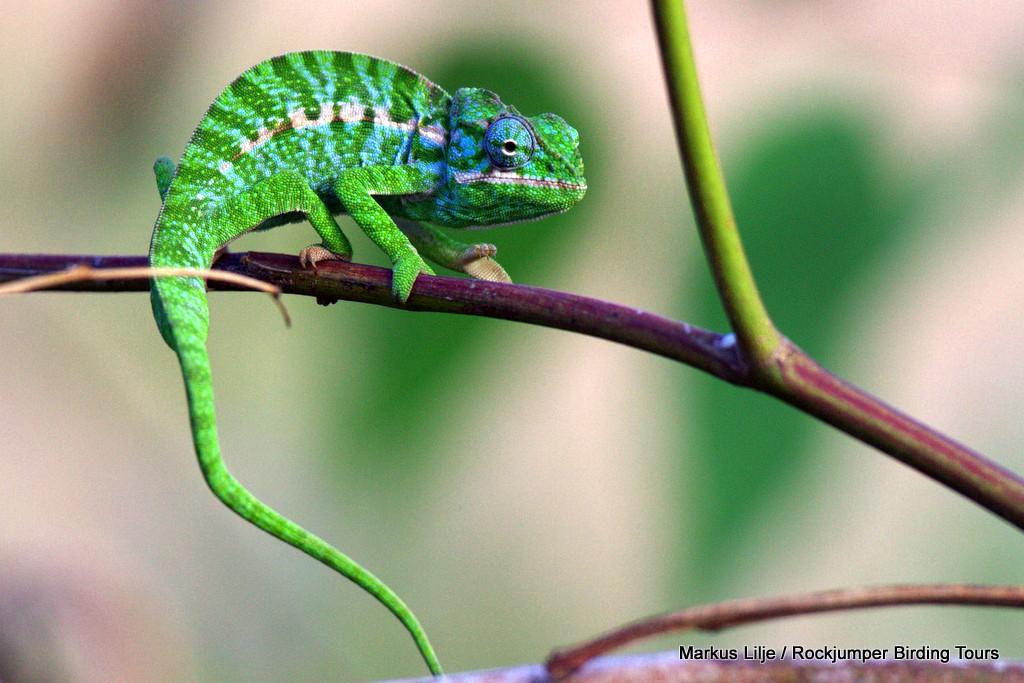 Chameleon (Furcifer lateralis) by Markus Lilje